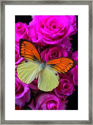 Exotic Butterfly On Pink Roses Framed Print