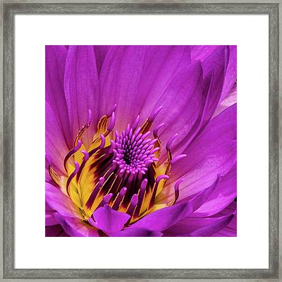Exotic Hot Pink Water Lily Macro Framed Print by Julie Palencia