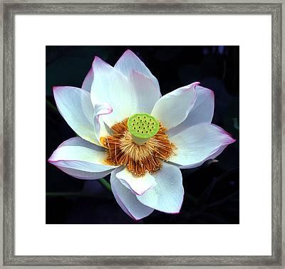 Exotic Lotus Framed Print by Blima Efraim