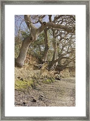 Exposed Roots At Low Tide Framed Print by Terri Waters
