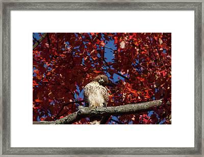 Expressive Hawk Framed Print by Karol Livote
