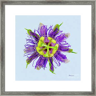 Expressive Yellow Green And Violet Passion Flower 50674b Framed Print