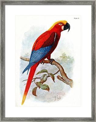 Extinct Jamaican Red Macaw, Ara Gossei Framed Print by Wellcome Images