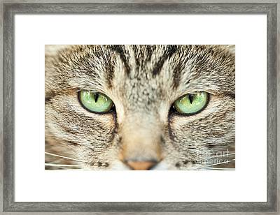 Extreme Close Up Tabby Cat Framed Print by Sharon Dominick