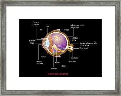 Eye Anatomy,artwork Framed Print by Francis Leroy, Biocosmos