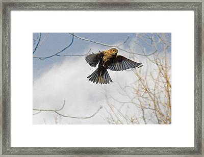 Eye-contact With Lady House Finch In-flight Framed Print