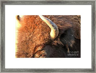Eye Of The American Bison Framed Print by Adam Jewell