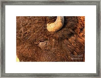 Eye Of The Buffalo Framed Print by Adam Jewell