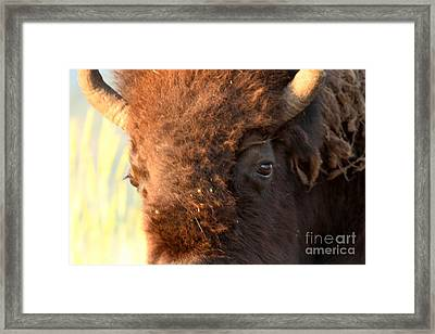 Eye Of The Yellowstone Bison Framed Print by Adam Jewell