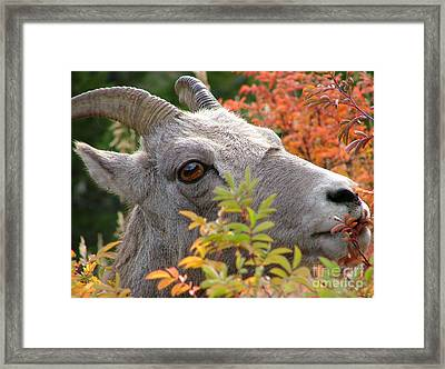 Eye On Ewe Framed Print by Katie LaSalle-Lowery