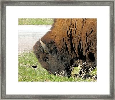 Eye To Eye Bison And Bird Framed Print by Marion Muhm