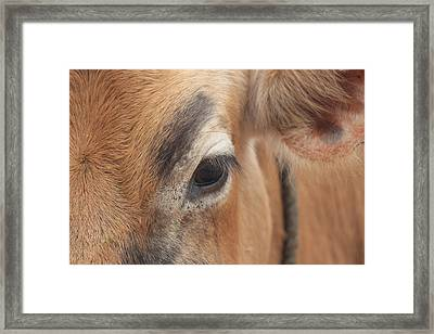 Eyebrow Cow/bull Closeup, Kodaikanal Framed Print