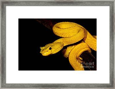 Eyelash Palm Pitviper Framed Print