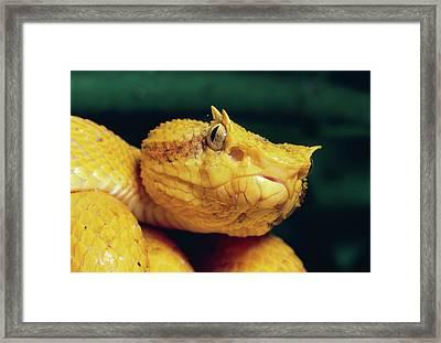Eyelash Viper Bothriechis Schlegelii Framed Print