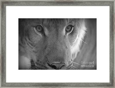 Eyes Of A Liger  Framed Print by Elizabeth Ann