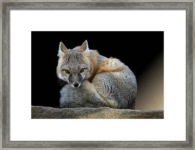 Eyes Of The Fox Framed Print