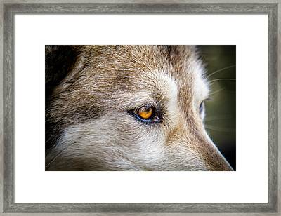 Framed Print featuring the photograph Eyes Of The Gray Wolf by Teri Virbickis