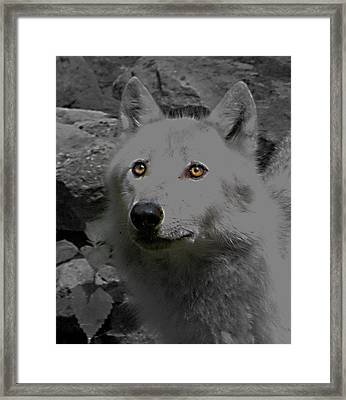Framed Print featuring the photograph Eyes Of The Wolf by Debra     Vatalaro