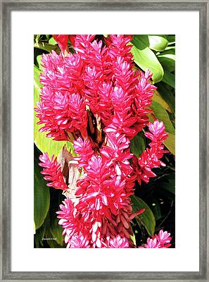 F10 Red Ginger Framed Print by Donald k Hall