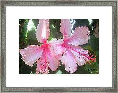 F4 Hibiscus Flowers Hawaii Framed Print by Donald k Hall