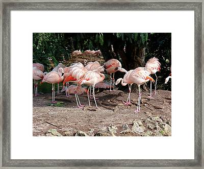 Fabulous Flamingos Framed Print