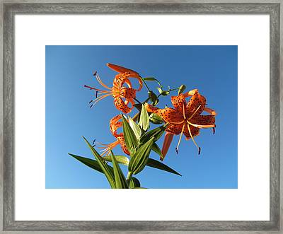 Fabulous Tiger Lily Framed Print by Tina M Wenger