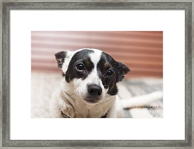 Face Of A Cute Terrier Puppy Dog Thinking Framed Print