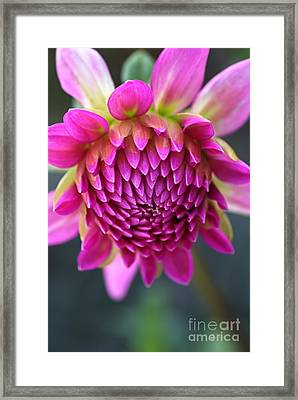Face Of Dahlia Framed Print