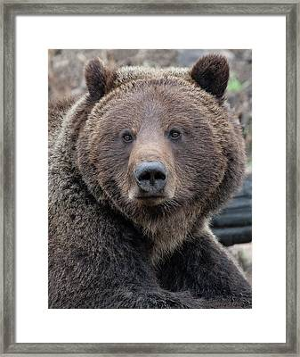 Face Of The Grizzly Framed Print