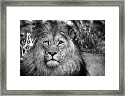 Face To Face With The King Of The Jungle Framed Print