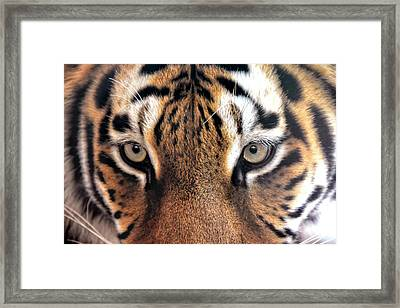 Face To Face With The Tiger Framed Print