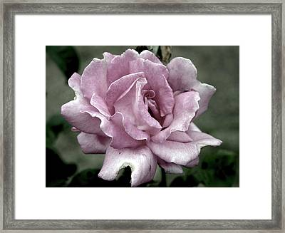 Faded Beauty Rose 0226 H_2 Framed Print