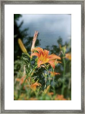 Faded Lily Framed Print
