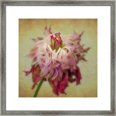 Faded Peony Framed Print by Garry McMichael