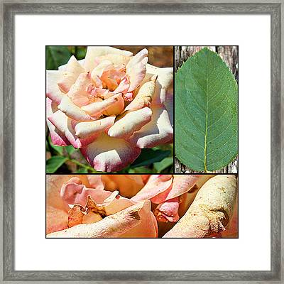 Framed Print featuring the photograph Fading Beauty Collage Print by KayeCee Spain