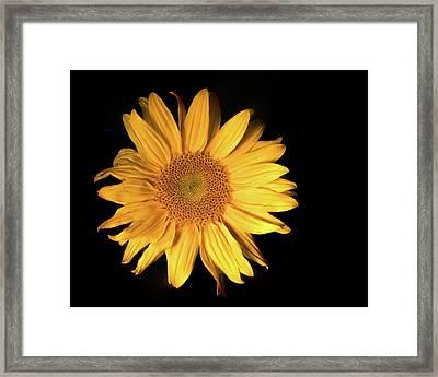 Fading Sunflower Framed Print