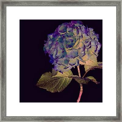 Fairy Hydrangea Framed Print