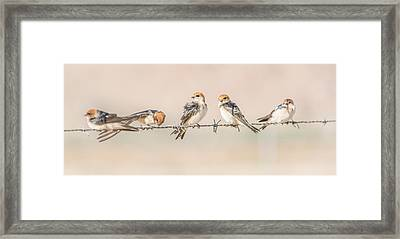 Fairy Martins Framed Print