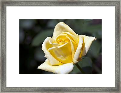 Fairy Tale Rose Framed Print by Don  Wright