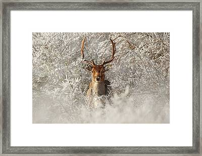 Fairytale Fallow Deer In The Frost Framed Print