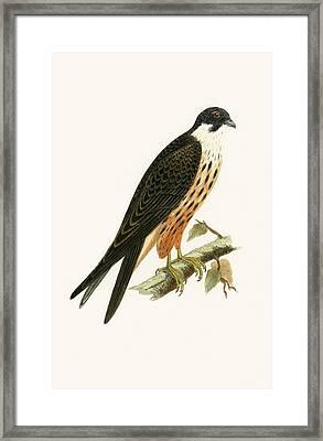 Falco Eleonorae Framed Print