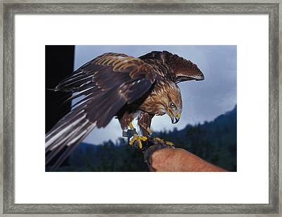 Framed Print featuring the photograph Falcon by Carl Purcell