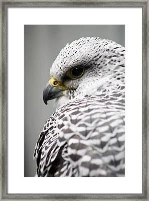 Falcon Framed Print by Mindee Green