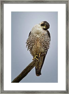 Falcon With Cocked Head Framed Print