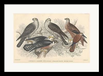 Gyr Falcon Framed Prints