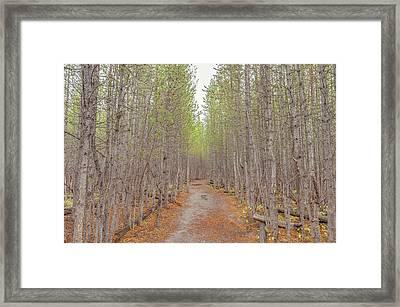 Fall Aspen Trail  Framed Print