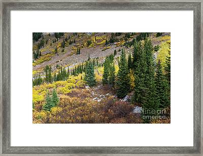 Fall Aspens And Evergreen Trees Framed Print by Mike Cavaroc