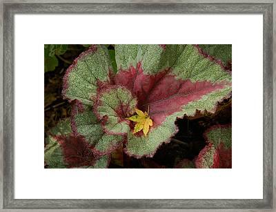 Fall Begonia Framed Print