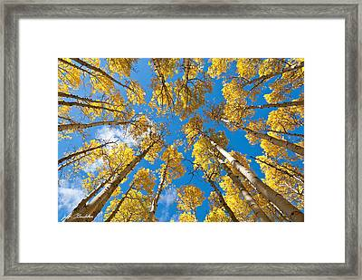 Fall Colored Aspens In The Inner Basin Framed Print