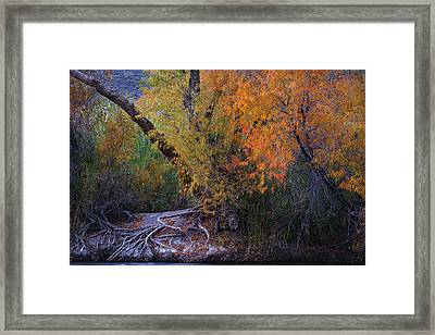 Fall Colors At The Salt River Framed Print by Dave Dilli